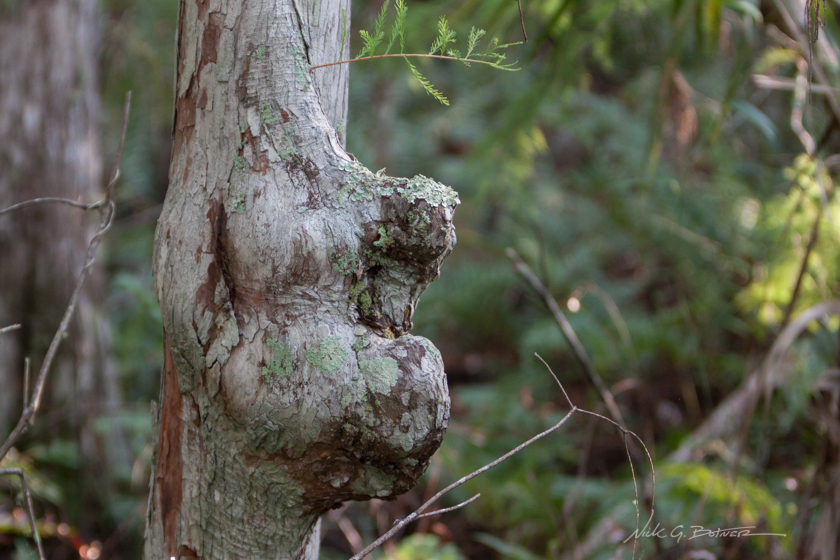 The Corkscrew Swamp Sanctuary Boardwalk
