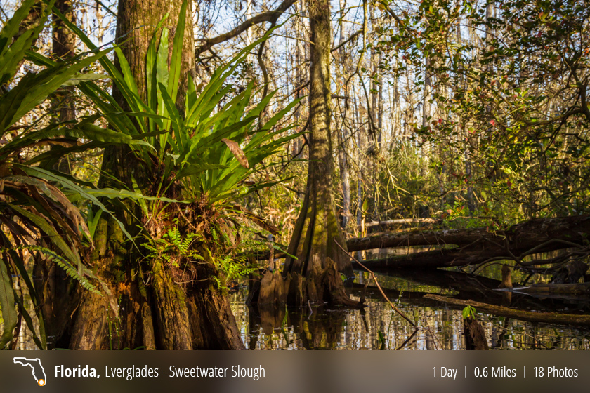 Swamp Walk – Sweetwater Strand, Loop Road, Everglades, FL