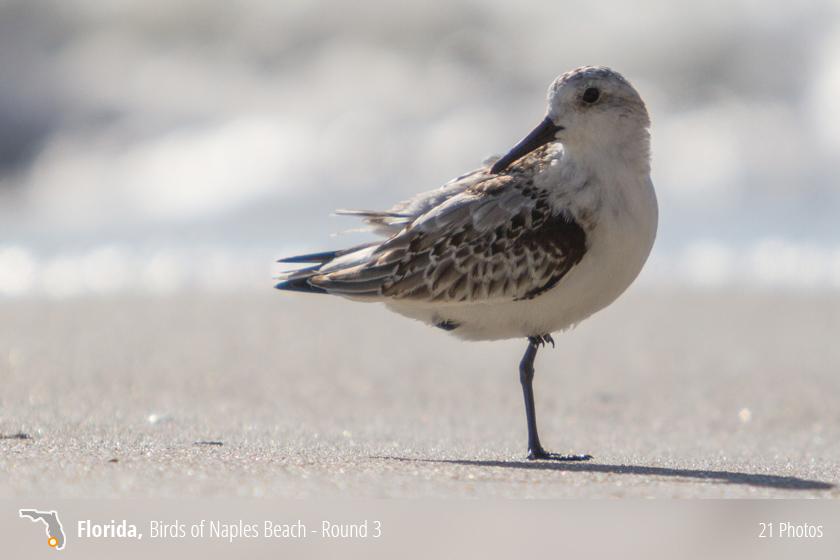 Beach Birds Florida Birds of Naples Beach