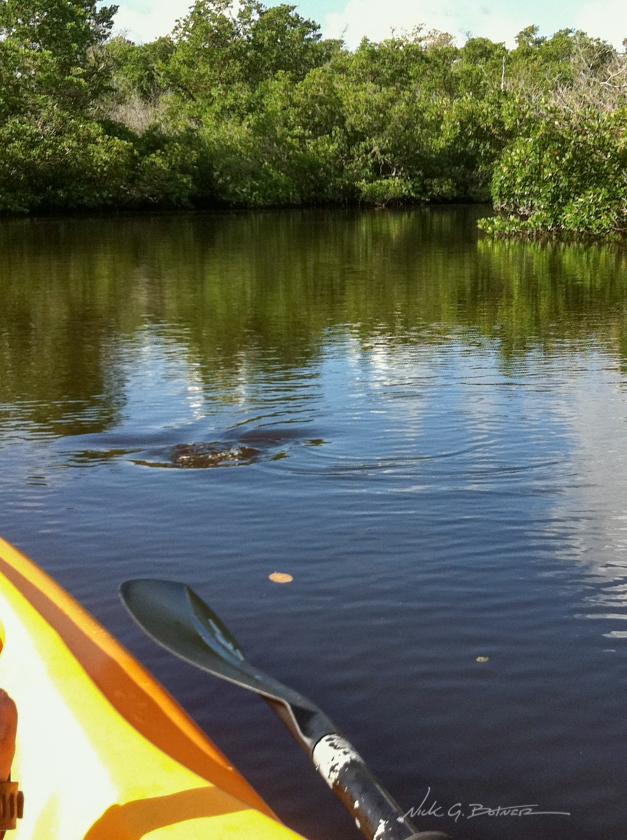 Kayaking Rookery Bay in Naples, Florida