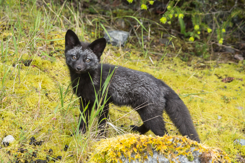 Foxes of San Juan Island, Washington