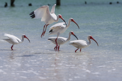 Florida Coast – Birds of Naples Beach (Round 1)
