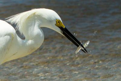 Florida Coast – Birds of Naples Beach (Round 3)