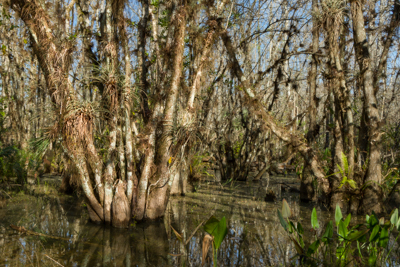 Swamp Walk – Gator Hook Trail, Everglades, FL